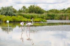 Uccelli selvaggi del fenicottero nel lago in Francia, Camargue, Provenza Immagini Stock Libere da Diritti