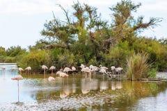 Uccelli selvaggi del fenicottero nel lago in Francia, Camargue, Provenza Immagine Stock Libera da Diritti