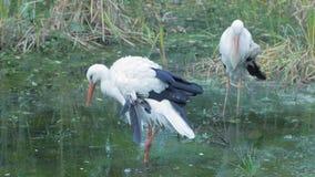 Uccelli selvaggi nello stagno stock footage