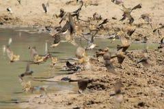 Uccelli, selvaggi - sbattimenti di battito cardiaco della terra Fotografia Stock