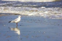 Uccelli selvaggi sulla spiaggia rumena Fotografia Stock