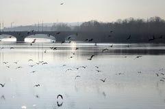Uccelli sopra il fiume di Vltava Fotografia Stock