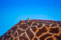 Uccelli sopra il giraffa immagine stock