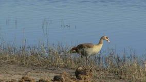 Uccelli su litorale stock footage