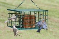 Uccelli su Suet Feeder Fotografia Stock