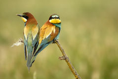 Uccelli su un albero del ramoscello Immagine Stock Libera da Diritti