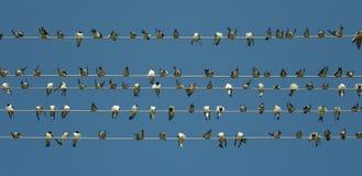 Uccelli su un collegare Fotografia Stock