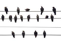 Uccelli su un collegare. Isolato sopra fotografie stock libere da diritti