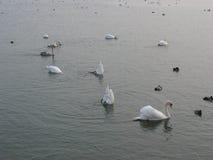 Uccelli su uno stagno durante l'inverno Fotografia Stock Libera da Diritti