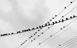 Uccelli sui cavi che hanno una chiacchierata Fotografia Stock Libera da Diritti