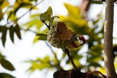 Uccelli sui frutti dal Nature' mondo di s ed alimento di cibo fotografie stock libere da diritti