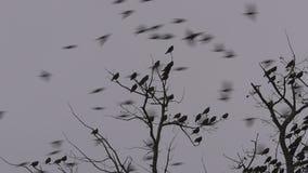 Uccelli sui rami di quercia, cielo nuvoloso di inverno, fine della macchina fotografica fissa treppiede su stock footage