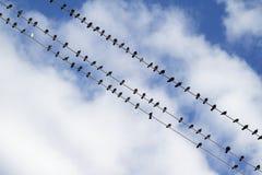 Uccelli sul collegare elettrico Fotografie Stock