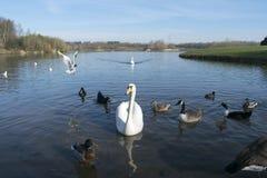 Uccelli sul lago Immagine Stock