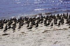 Uccelli sul litorale del golfo Immagini Stock Libere da Diritti