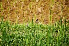 Uccelli sul riso nel campo Immagini Stock Libere da Diritti