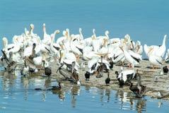 Uccelli sull'isola de los Pajaros in Holbox Immagine Stock