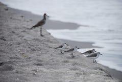 Uccelli sulla spiaggia Immagine Stock