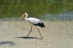 Uccelli tropicali Fotografia Stock Libera da Diritti