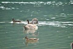 Uccelli in un'acqua Fotografie Stock Libere da Diritti