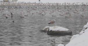 Uccelli in uno stagno in un parco di inverno stock footage