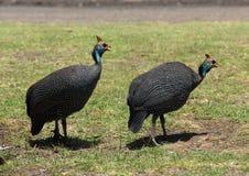 Uccelli variopinti africani Fotografia Stock Libera da Diritti