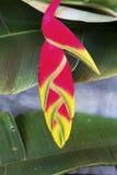 Uccelli variopinti del primo piano del fiore di paradiso Immagine Stock Libera da Diritti