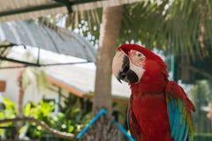 Uccelli variopinti nel giardino, pappagallo dell'ara Fotografia Stock Libera da Diritti