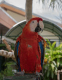 Uccelli variopinti nel giardino, pappagallo dell'ara Fotografie Stock
