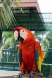 Uccelli variopinti nel giardino, pappagallo dell'ara Immagini Stock