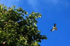 Uccelli verdi del piccione che volano con pochi rami di albero per annidare Fotografie Stock