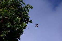 Uccelli verdi del piccione che volano con pochi rami di albero per annidare Immagini Stock Libere da Diritti