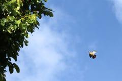 uccelli verdi Rosa-con il collo del piccione che volano con i rami per annidare Fotografie Stock