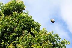 uccelli verdi Rosa-con il collo del piccione che volano con pochi rami di albero Fotografia Stock Libera da Diritti