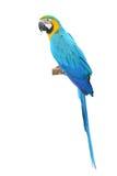 Uccelliera dell'ara dell'oro e del blu Fotografia Stock Libera da Diritti