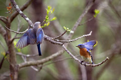 Uccellini azzurri a Forbes State Park in Illinois Fotografia Stock