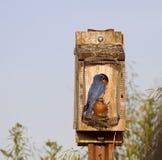 Uccellini azzurri orientali Immagini Stock