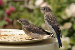 Uccellini azzurri orientali giovanili Immagine Stock Libera da Diritti