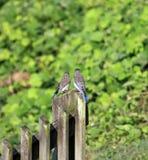 Uccellini azzurri su una posta Fotografia Stock Libera da Diritti