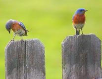 Uccellini azzurri sul recinto Fotografia Stock Libera da Diritti