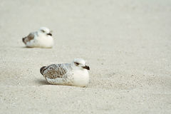 Uccellini implumi del gabbiano sulla sabbia Fotografie Stock