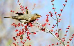 Uccellino Fotografie Stock