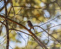 Uccellino azzurro (1) Fotografia Stock Libera da Diritti