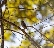 Uccellino azzurro (2) Immagini Stock