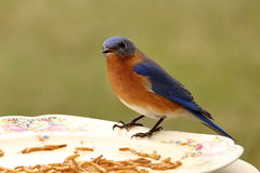 Uccellino azzurro all'alimentatore Fotografie Stock