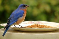 Uccellino azzurro bagnato Fotografie Stock