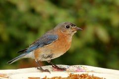 Uccellino azzurro bagnato Fotografia Stock