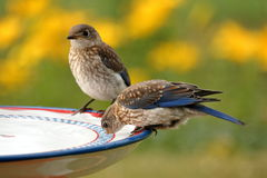 Uccellino azzurro bevente Fotografia Stock Libera da Diritti