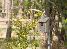 Uccellino azzurro che ispeziona un nido per deporre le uova Fotografia Stock