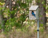 Uccellino azzurro che ispeziona un nido per deporre le uova Fotografie Stock